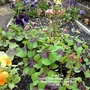 Plot 12A Oxalis 'Iron Cross' (Close up) from balcony in bed No 3 11-07-2014 (Oxalis)