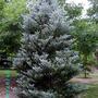 Abies koreana 'Silberlocke' (Abies koreana (Korean fir))