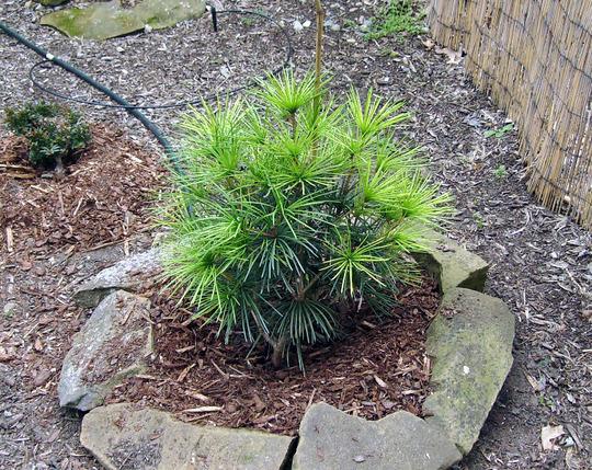 Sciadopitys verticillata 'Wintergreen' (Sciadopitys verticillata (Japanese Umbrella Pine))