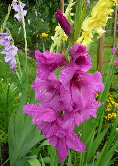 Pink gladiolus (Gladiolus grandiflorus)