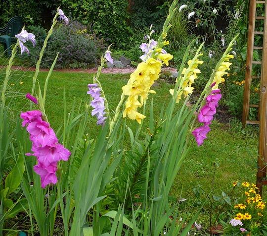 Back garden (Gladiolus grandiflorus)