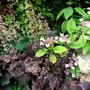 Heuchera 'Palace Purple' (Heuchera villosa 'Palace Purple')