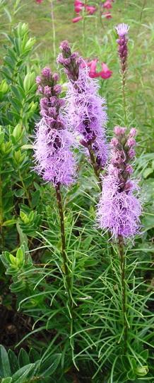 Liatris spicata (Liatris spicata)