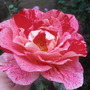 003 (Rosa)