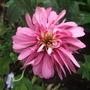 Echinacea_pink_poodle_