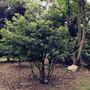 Clethra barbinervis (Clethra barbinervis)