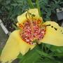Tigridia pavonia (Tiger flower)