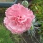 Dianthus 'Letitia Wyatt' (Dianthus)