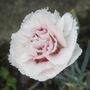 Dianthus 'Cranmere Pool' (Dianthus)
