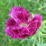 Dianthus single  (Dianthus)