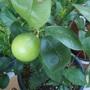 Producing lemon tree