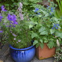 Amy's Larkspur and Salvia (Consolida orientalis (Larkspur) and Salvia Cambridge Blue)