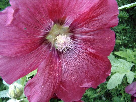 Hollyhock (Alcea rosea (Black Hollyhock))