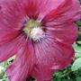 Hollyhock (Alcea rosea (Black Hollyhock))