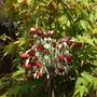 Primula florindae (Red Form) (Primula florindae)