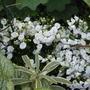 Campanula White Bali (Campanula x haylodgensis 'White Bali')