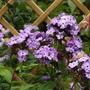 Phlox paniculata Violet Flame (Phlox Violet Flame)