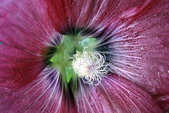 Center of a hollyhock (Alcea rosea (Black Hollyhock))