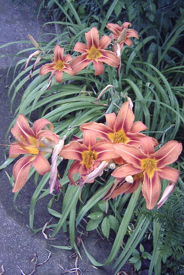 Orange daylilies (Hemerocallis fulva (Chin Chen TsAi))