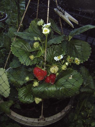 Strawberries!! Better late than never! (fragaria x ananassa)