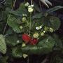 Fragaria x ananassa