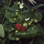 Strawberries!! Better late than never! (fragaria x ananassa)
