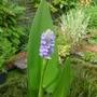 Pontederia cordata - 2014 (Pontederia cordata)
