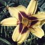 'Bonanza' daylily (Hemerocallis 'Bonanza')