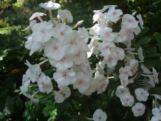 Phlox divaricata 'White Perfume' (Phlox divaricata)