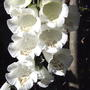 White foxglove (Digitalis purpurea 'Camelot White')