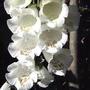 White foxglove (Digitalis purpurea 'Camelot White')