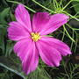 2008_07_18_046pink_cosmos