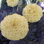 African marigolds - a soft buttery yellow