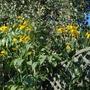 Rudbeckia Herbstonne... (Rudbeckia laciniata Herbstonne.)