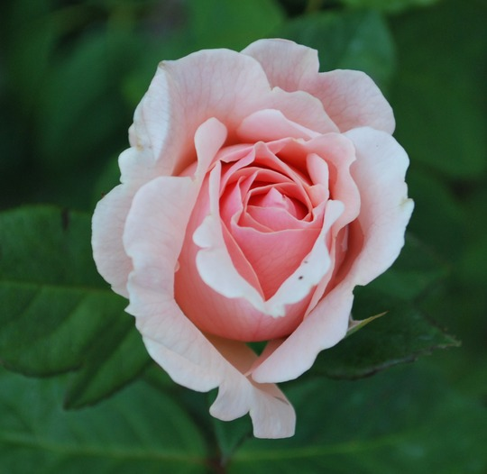 Rosa Maxima Romantica... (Rosa Maxima Romantica.)