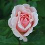 Rosa_maxima_romantica