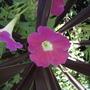 Petunia & cordyline