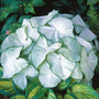 Moonlight_caladium