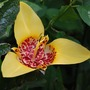 Yellow Tigridia... (Tigridia pavonia (Tiger flower))