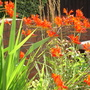 Crocosmia 'Lucifer' (Crocosmia 'Lucifer')