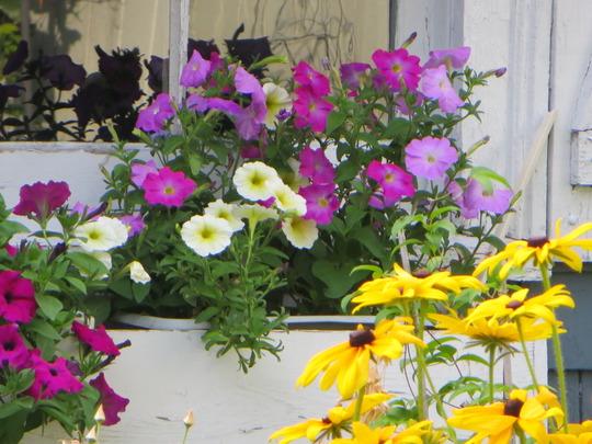 August colours windowbox (Rudbeckia fulgida (Black-eyed Susan))