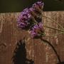 off I go... (Verbena bonariensis (Verbena))