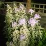 Phlox paniculata 'Nora Leigh' - 2014 (Phlox paniculata)