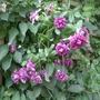 Clematis_viticella_purpurea_plena_2014