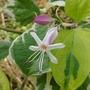 Clerodendrum_trichotomum_carnival_close_up_2014