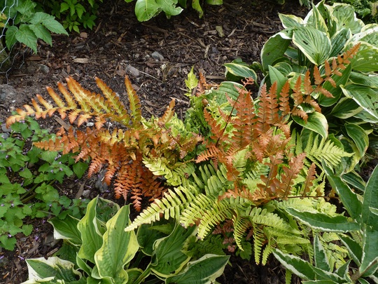 Rosy Buckler Fern...lovely colours though autumnal looking. (Dryopteris erythrosora (Japanese Shield Fern))
