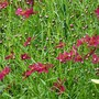 Another one for my records...Coreopsis 'Ruby Red' (Coreopsis rosea (Tickseed))