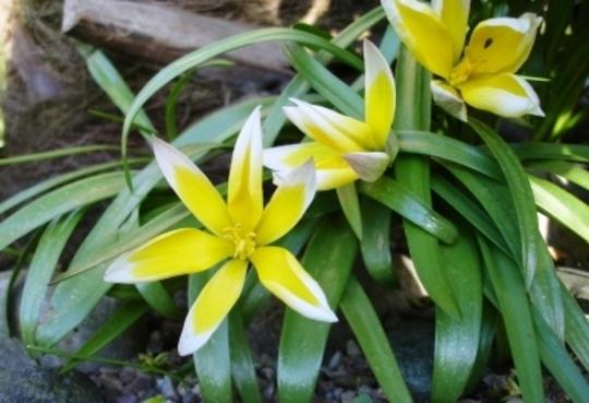 Tulip tarda (Tulip Tarda)
