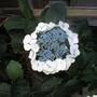 My favourite Hydrangea