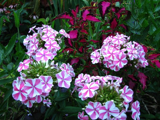Phlox  'Peppermint Twist'